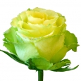 Роза Эквадор 80 см