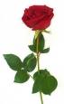 Роза 60 см.