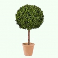 Дерево самшит