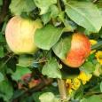 Яблоня (Антоновка десертная)