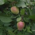 Яблоня (Благая весть)
