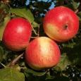 Яблоня (Серебряное копытце)