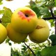 Яблоня (Антоновка золотистая)