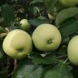 Яблоня (Белый налив)