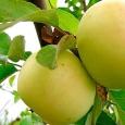 Яблоня (Папироянтарное)