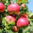 Яблоня (Уральское розовое)