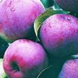 Яблоня малиновая