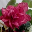 Роза коричная