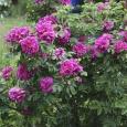 Роза морщинистая(ругоза)