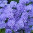 АгератумХоустона (голубой)
