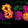 Вербена разноцветное сияние