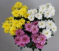 Хризантема кустовая. Челябинск