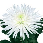 Хризантема одноголовая белая. Челябинск