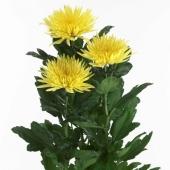 Хризантема одноголовая желтая. Челябинск