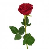 Роза Эквадор 60 см. Челябинск