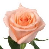 Роза Эквадор 90 см. Челябинск