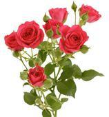 Кустовая роза. Челябинск