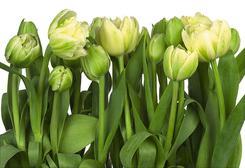Фотообои Komar 8-900, Tulips. Челябинск
