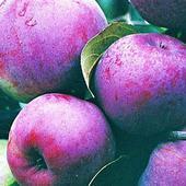 Яблоня малиновая. Челябинск