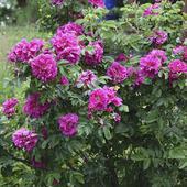 Роза морщинистая(ругоза). Челябинск