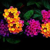 Вербена разноцветное сияние. Челябинск